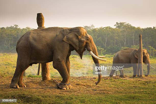 elephant in chain screaming - feet torture stock pictures, royalty-free photos & images