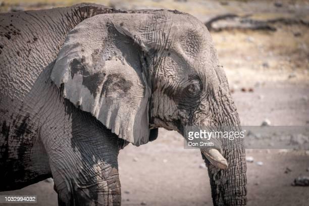 elephant in etosha - don smith stock-fotos und bilder