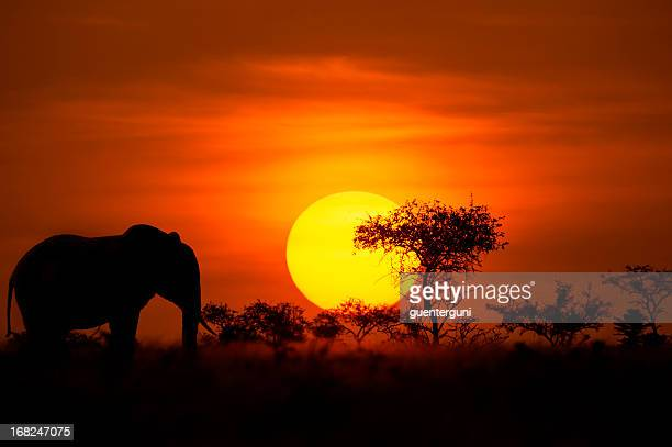 Elephant in front of a perfect African sunset