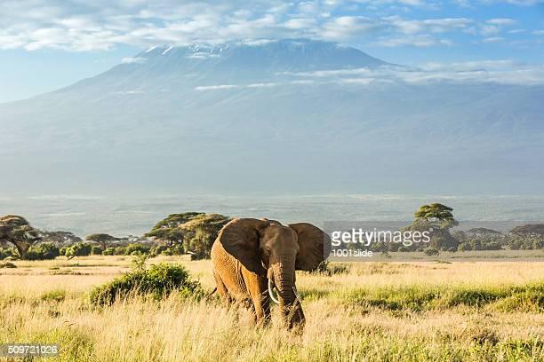 Elephant in front of Mount Kilimanjaro & Mawenzi Peak