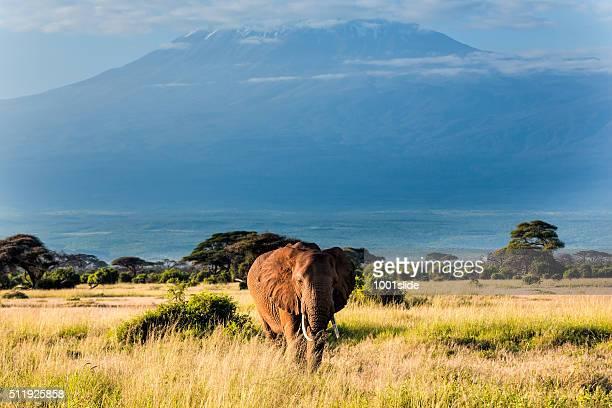 Éléphant en face du mont Kilimandjaro