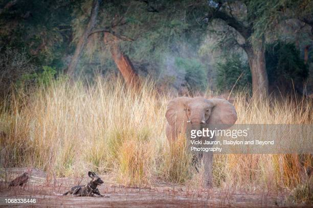 Elephant in Grass Looking at African Painted Wolf or Wild Dog at Mana Pools, Zimbabwe