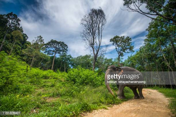 elephant in jungle - asian elephant stock pictures, royalty-free photos & images