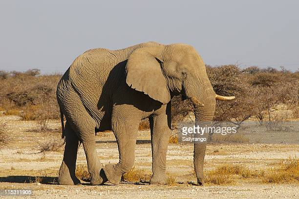 Elephant in sunlight in Namibia