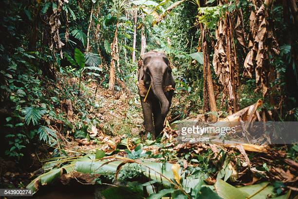 Elephant in Thai forest