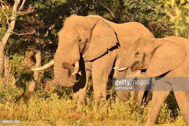 Elephant in the Bush