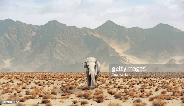 elephant in the desert - semiarid stock-fotos und bilder