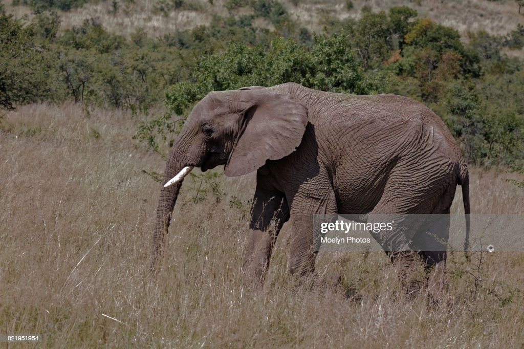 Elephant in the Grass-Pilanesberg NP : Stock Photo