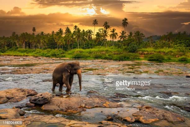 elephant in the jungle river. pinnawala elephant orphanage. sri lanka. - sri lanka stock pictures, royalty-free photos & images