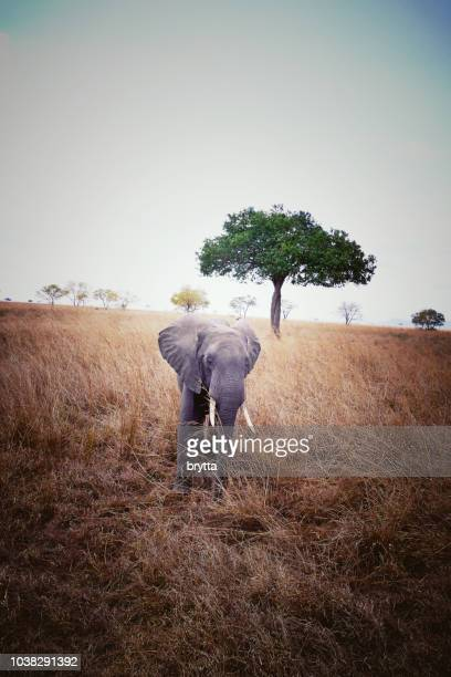 Elephant  in the Mikumi National Park,Tanzania
