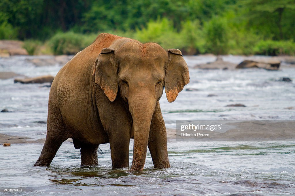 Elephant in the river : Stock Photo
