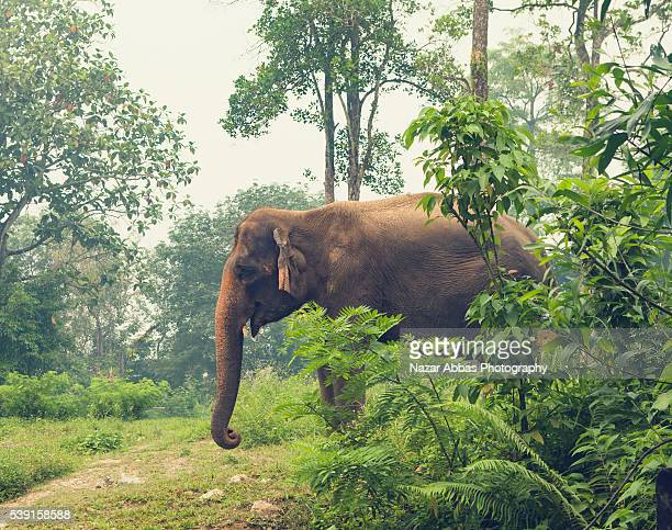 elephant in wild - nazar stock photos and pictures