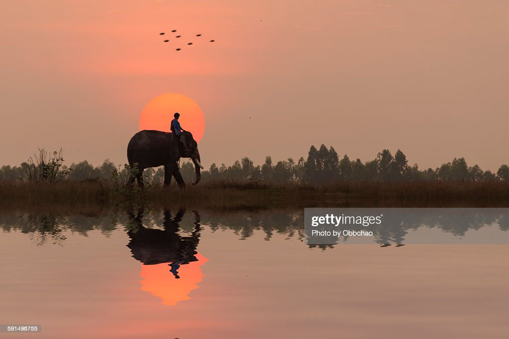Elephant is Going Home : Stock Photo