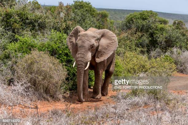 elephant is walking through addo national park - ems forster productions stock pictures, royalty-free photos & images