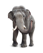 Elephant isolated on white with clipping path included