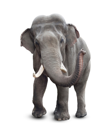 Elephant isolated on white with clipping path included 166228761