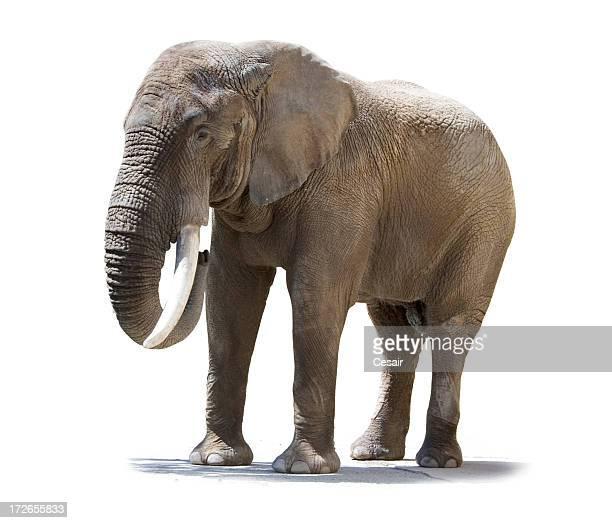 Elefanten isoliert einem