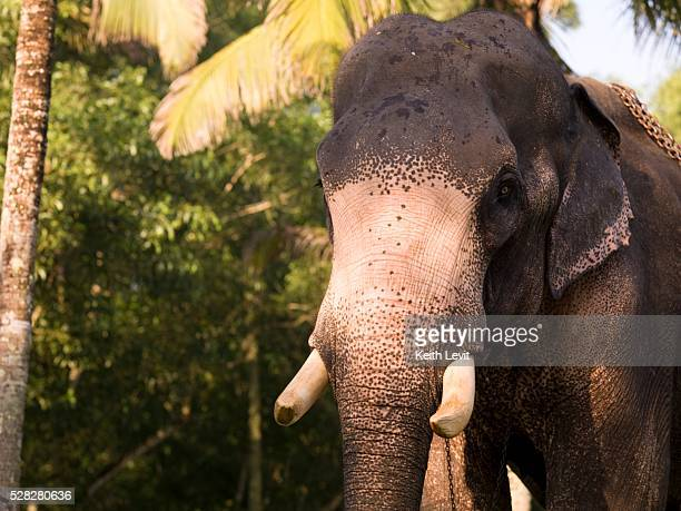 elephant, kerala, india - kerala elephants stock pictures, royalty-free photos & images