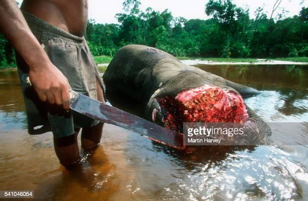 Elephant killed by poachers