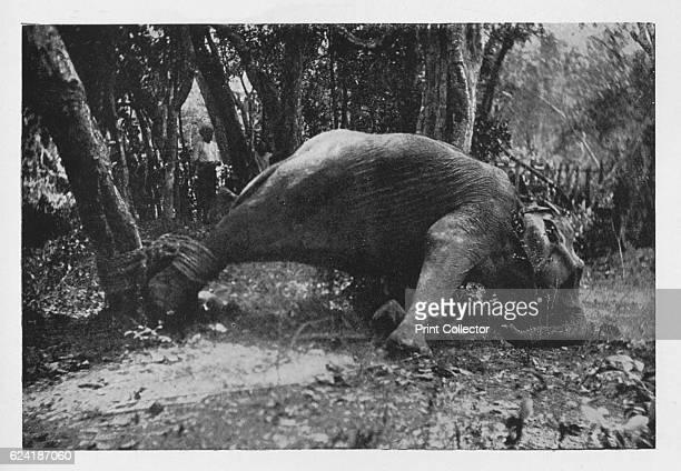 Elephant Kraaling in Ceylon Noosed' c1890 From The Hundred Best Views of Ceylon [Plâté Ltd Colombo Kandy Nuwara Eliya 1910] Artist Alfred William...