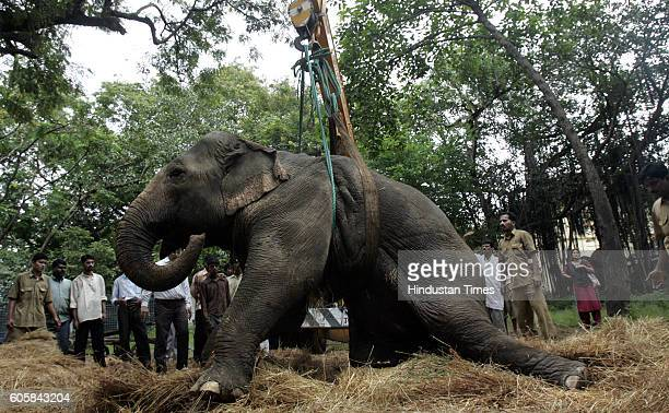 Elephant Lakshmi an elephant was left paralysed by a speeding tanker in an accident at Chembur was taken to the veterinary hospital at Parel