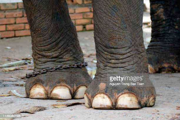 elephant legs are chained - feet torture stock pictures, royalty-free photos & images