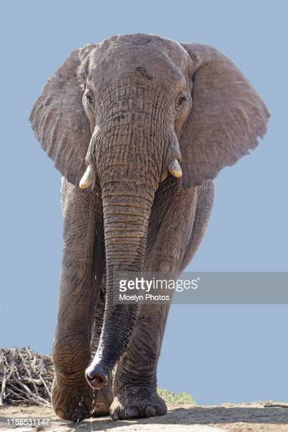 elephant looking at photographer - herbivorous stock pictures, royalty-free photos & images