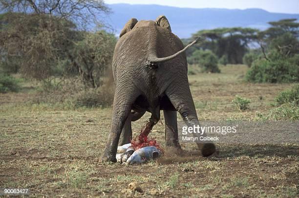 elephant loxodonta africana birth  amboseli n.p.,kenya.