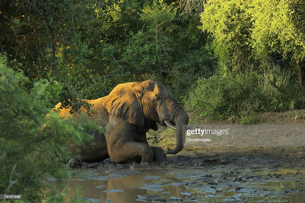 Elephant lying down in mud, Makalali Game Reserve, South Africa : Foto de stock