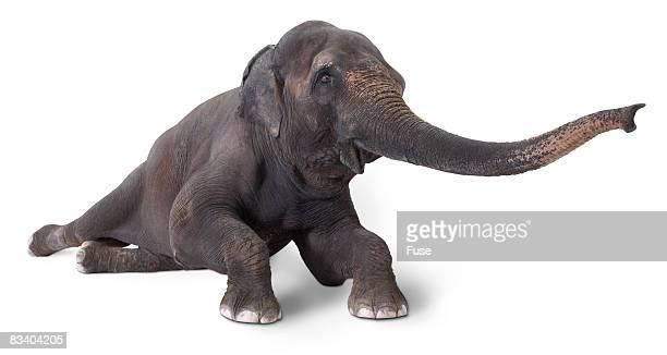 Elephant Lying Down