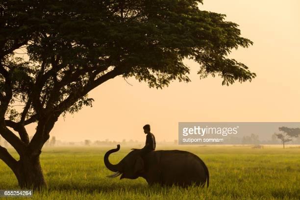 elephant mahout thailand life traditional - nariz grande fotografías e imágenes de stock