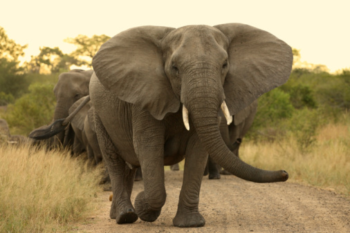 Elephant matriarch cow leading a herd. 95492036