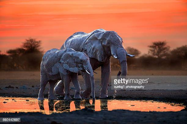 elephant mother and calf at the waterhole - botswana stock pictures, royalty-free photos & images