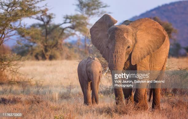 elephant mother and calf in early morning light at samburu, kenya - mammal stock pictures, royalty-free photos & images