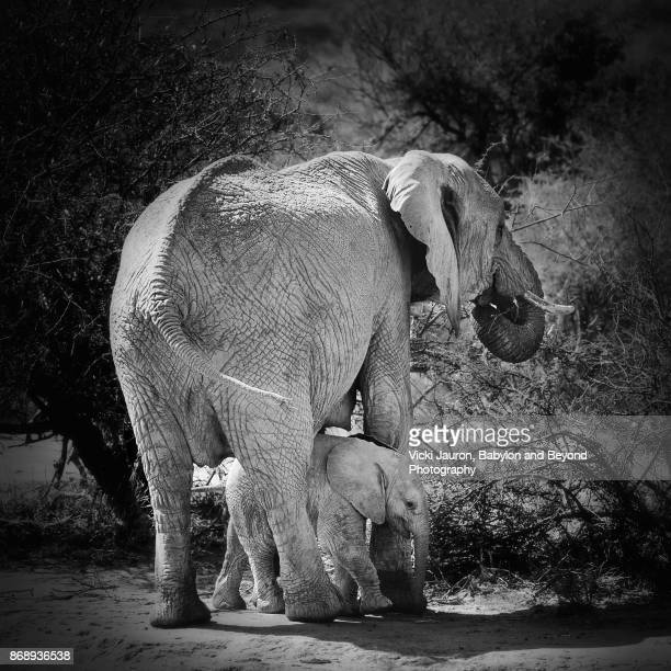 elephant mother and calf in laikipia, kenya - threatened species stock photos and pictures