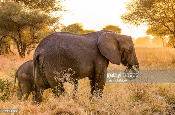 elephant mother with cub - tarangire national park stock pictures, royalty-free photos & images