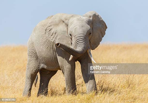 Elephant on Africa's Serengeti Savanna