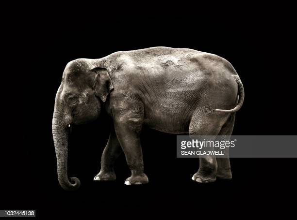 elephant on black background - elephant head stock-fotos und bilder