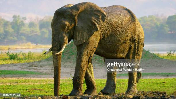 elephant on muddy field - herbivorous stock pictures, royalty-free photos & images