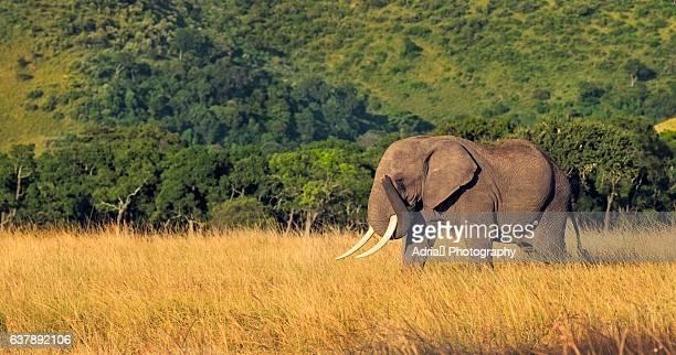 Elephant on plain