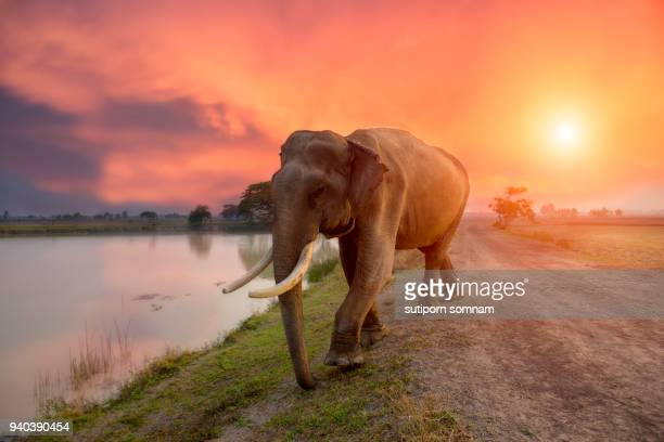 Elephant on sunrise at lake