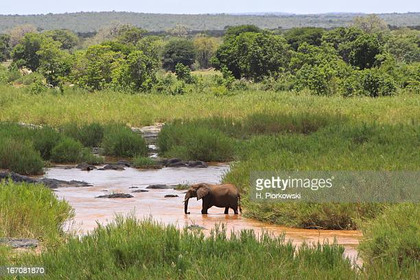 elephant on the olifants river - kruger national park stock pictures, royalty-free photos & images