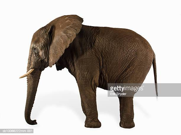 Elephant on white background, side view