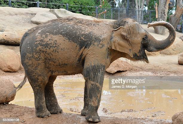 Elephant paints with mud at Melbourne Zoo on April 01, 2015 in Melbourne, Australia.
