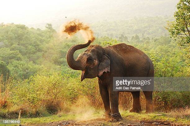 elephant - indian elephant stock pictures, royalty-free photos & images