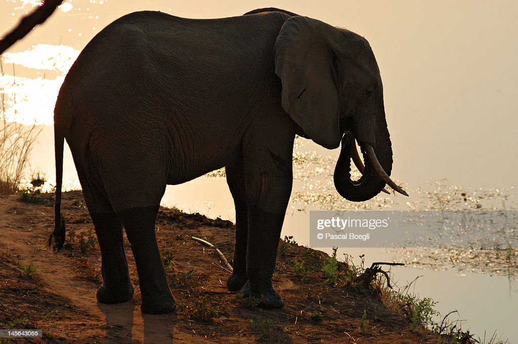 Elephant : Stock Photo
