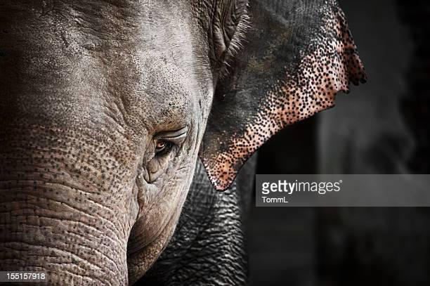 elephant (elephas maximus) - elephant face stock photos and pictures