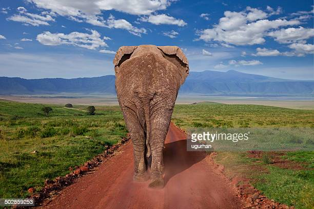 elephant - big bums stock photos and pictures