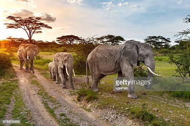 elefante  - tanzania fotografías e imágenes de stock