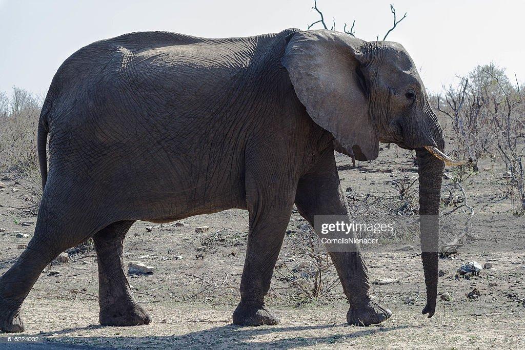 Elephant : Stockfoto